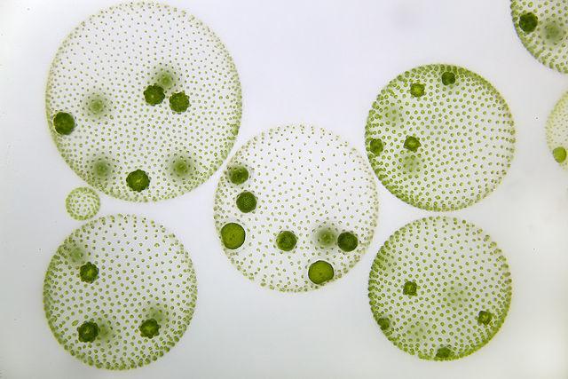 microalgas imagen
